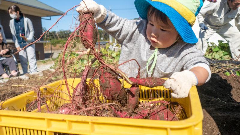 園児の半分の大きさのサツマイモ!?グローバルキッズルームうがたの園児たちが「いも掘り」を行いました!